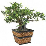 Nudell Plastics Bonsai with Sea Grass Pot, 12""