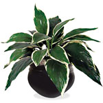 "Glolite Corporation Artificial Hosta Tabletop Plant, 6"", Green"