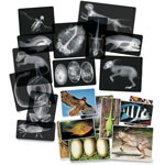 "Roylco Animal X-Rays, 8'x10"", 24pcs, Translucent"